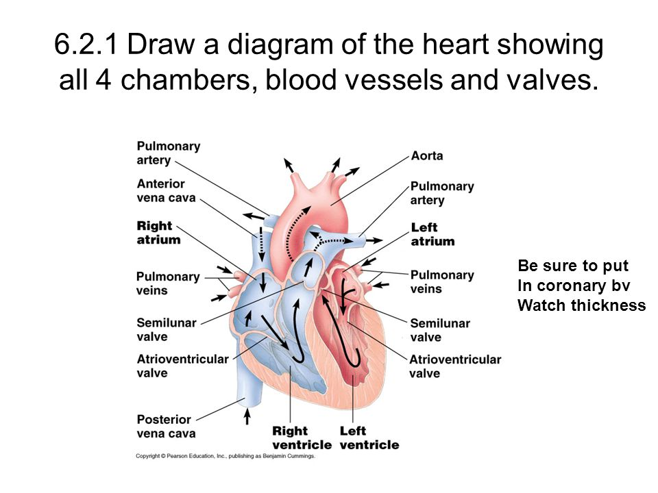 6.2.1 Draw a diagram of the heart showing all 4 chambers, blood vessels and valves.