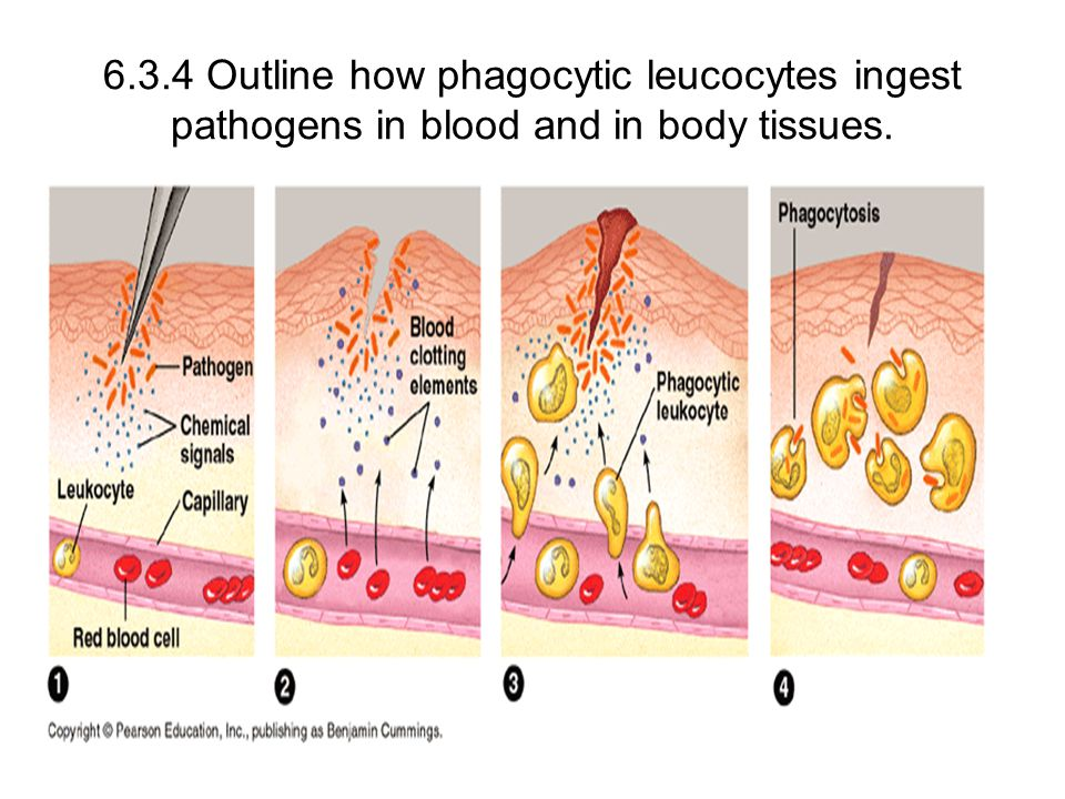 6.3.4 Outline how phagocytic leucocytes ingest pathogens in blood and in body tissues.
