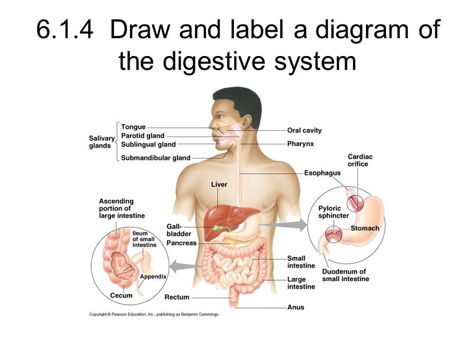 6.1.4 Draw and label a diagram of the digestive system