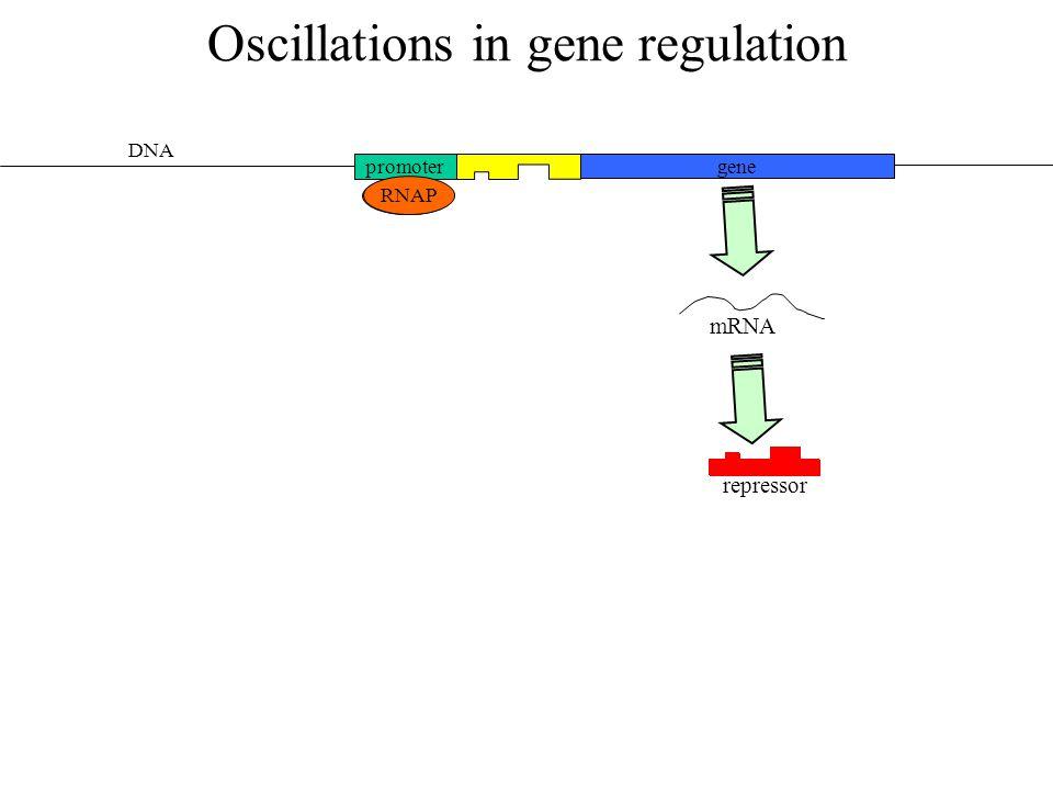 Oscillations in gene regulation promoter gene RNAP DNA RNAP repressor mRNA