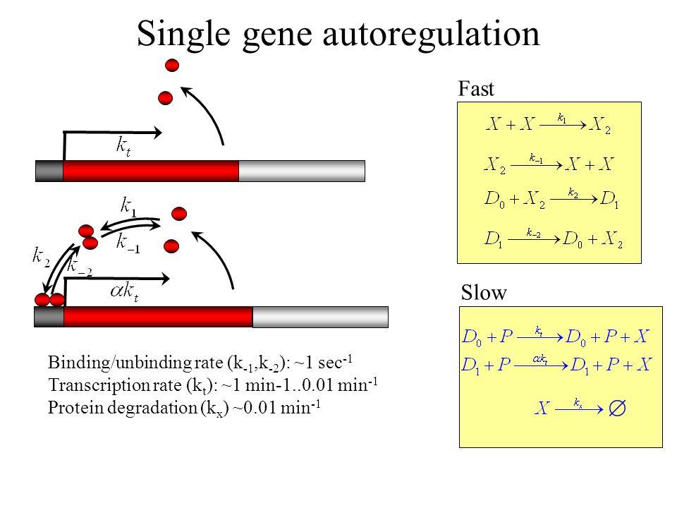 Single gene autoregulation Fast Slow Binding/unbinding rate (k -1,k -2 ): ~1 sec -1 Transcription rate (k t ): ~1 min-1..0.01 min -1 Protein degradati