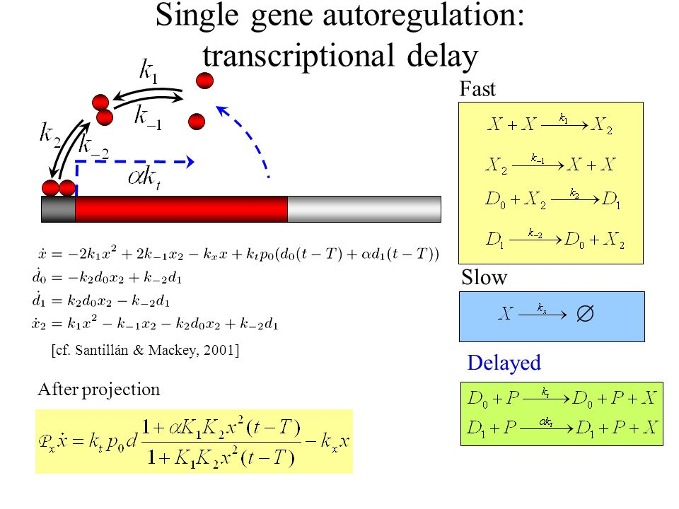 Single gene autoregulation: transcriptional delay  Fast Slow Delayed After projection [cf.