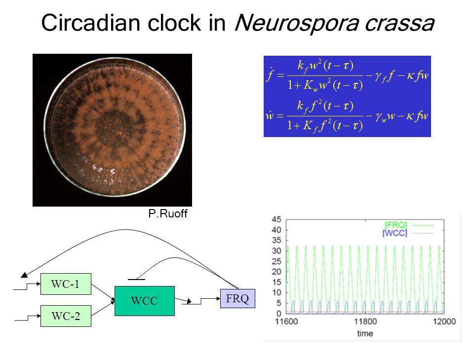 Circadian clock in Neurospora crassa WC-1 WC-2 WCC FRQ P.Ruoff