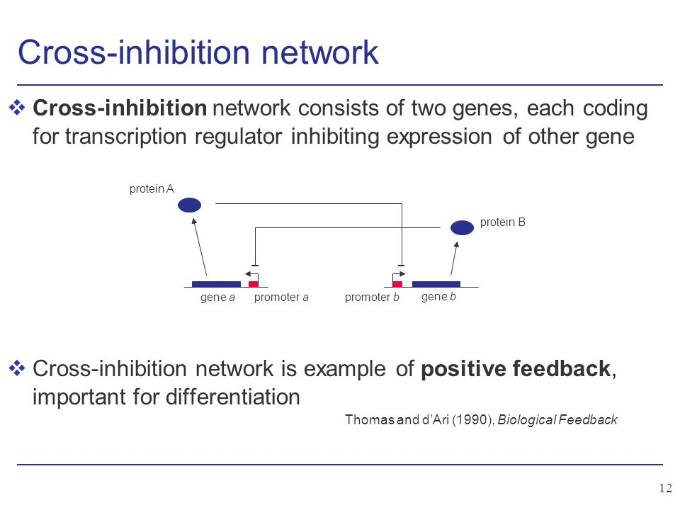 12 Cross-inhibition network vCross-inhibition network consists of two genes, each coding for transcription regulator inhibiting expression of other gene vCross-inhibition network is example of positive feedback, important for differentiation Thomas and d'Ari (1990), Biological Feedback gene b protein B gene a protein A promoter a promoter b