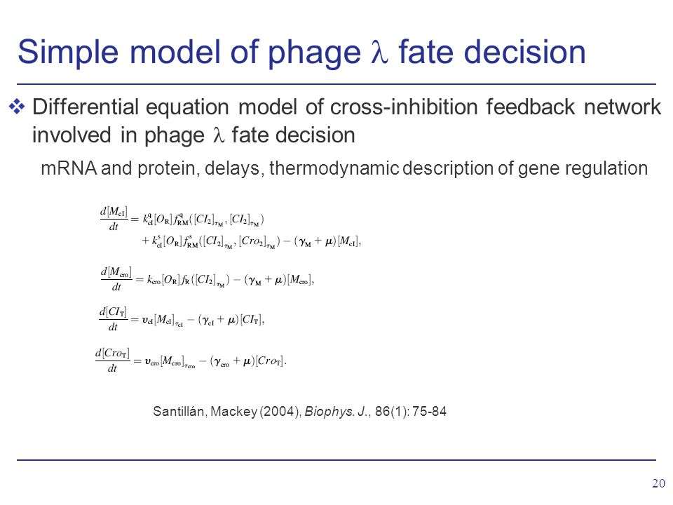20 Simple model of phage fate decision vDifferential equation model of cross-inhibition feedback network involved in phage fate decision mRNA and protein, delays, thermodynamic description of gene regulation Santillán, Mackey (2004), Biophys.