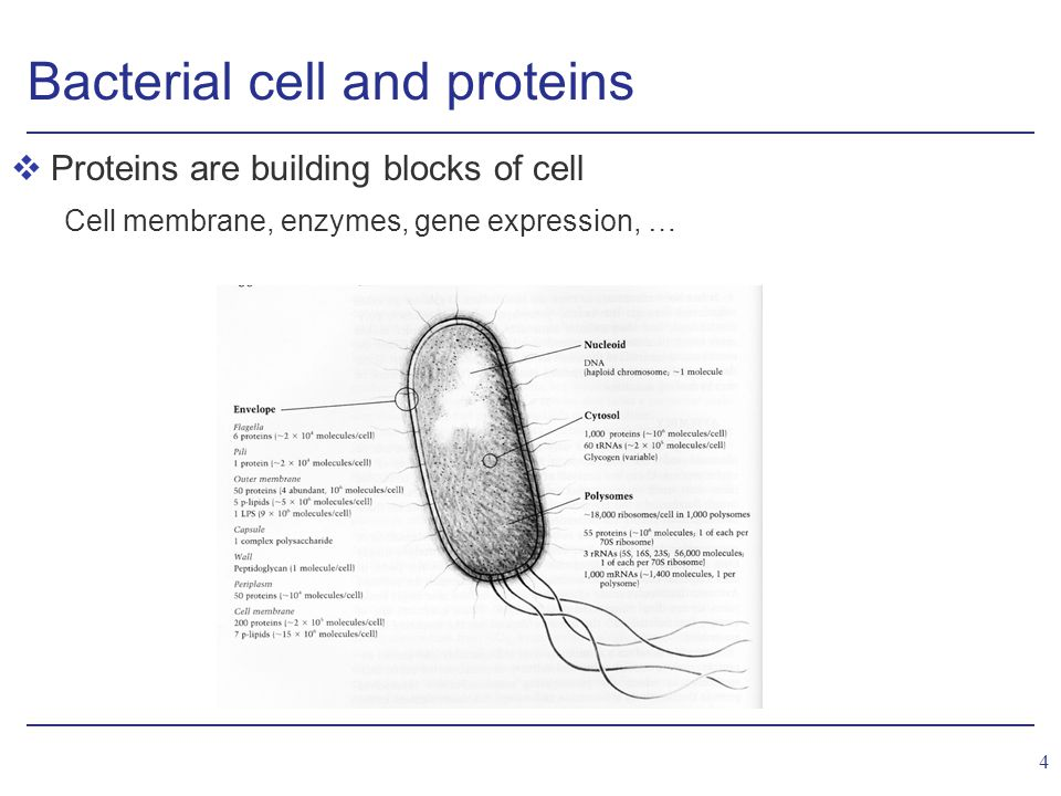 5 Variation in protein levels vProtein levels in cell are adjusted to specific environmental conditions Peng, Shimizu (2003), App.