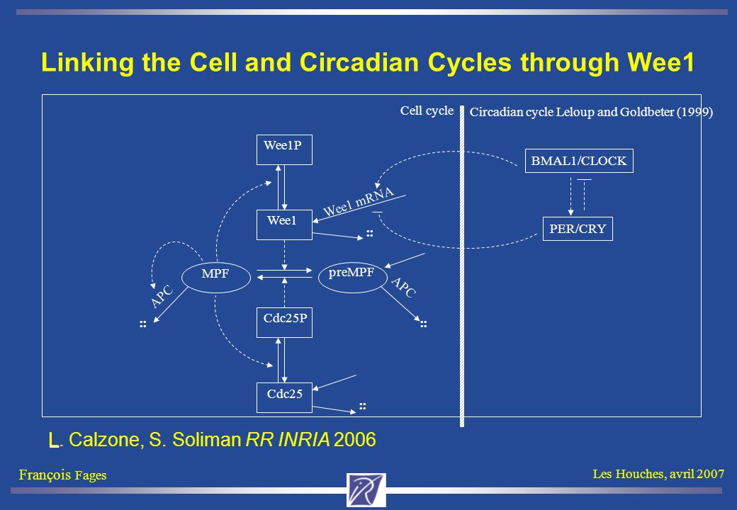 François Fages Les Houches, avril 2007 Leloup and Goldbeter (1999) MPF preMPF Wee1 Wee1P Cdc25 Cdc25P APC.. Cell cycle Linking the Cell and Circadian