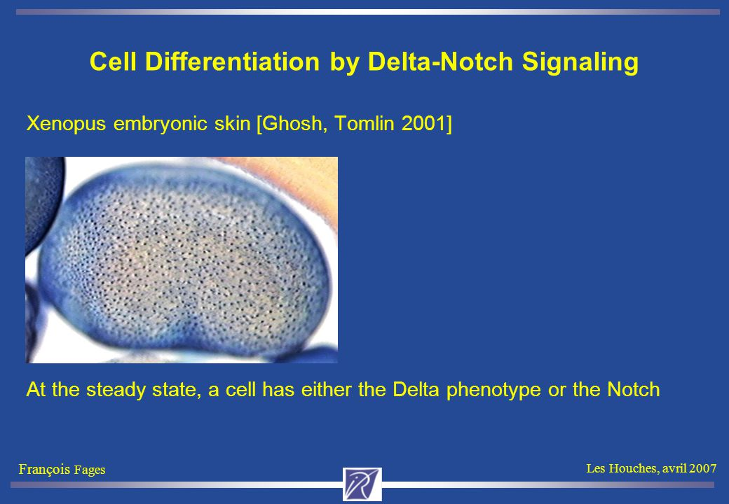 François Fages Les Houches, avril 2007 Cell Differentiation by Delta-Notch Signaling Xenopus embryonic skin [Ghosh, Tomlin 2001] At the steady state,