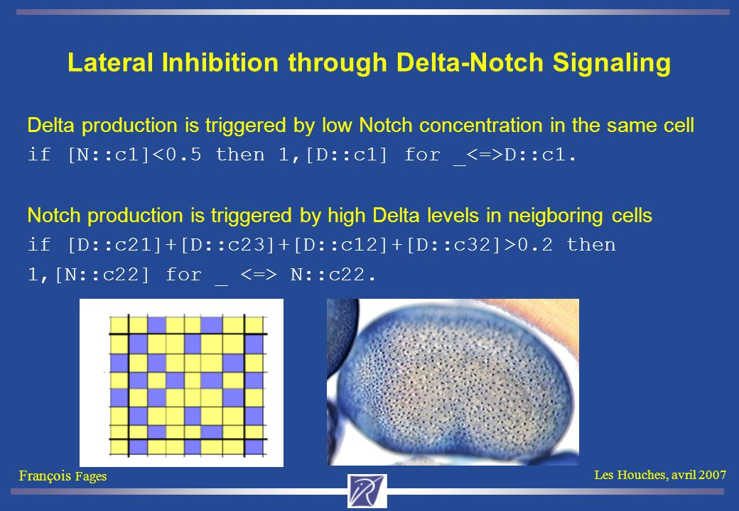 François Fages Les Houches, avril 2007 Lateral Inhibition through Delta-Notch Signaling Delta production is triggered by low Notch concentration in the same cell if [N::c1] D::c1.