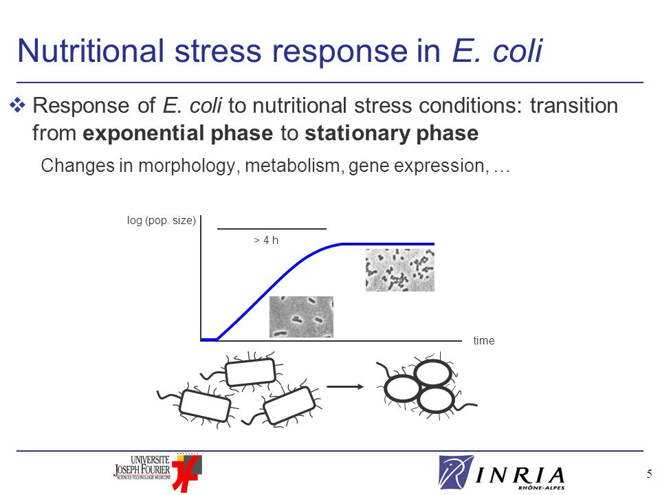 5 Nutritional stress response in E. coli vResponse of E. coli to nutritional stress conditions: transition from exponential phase to stationary phase