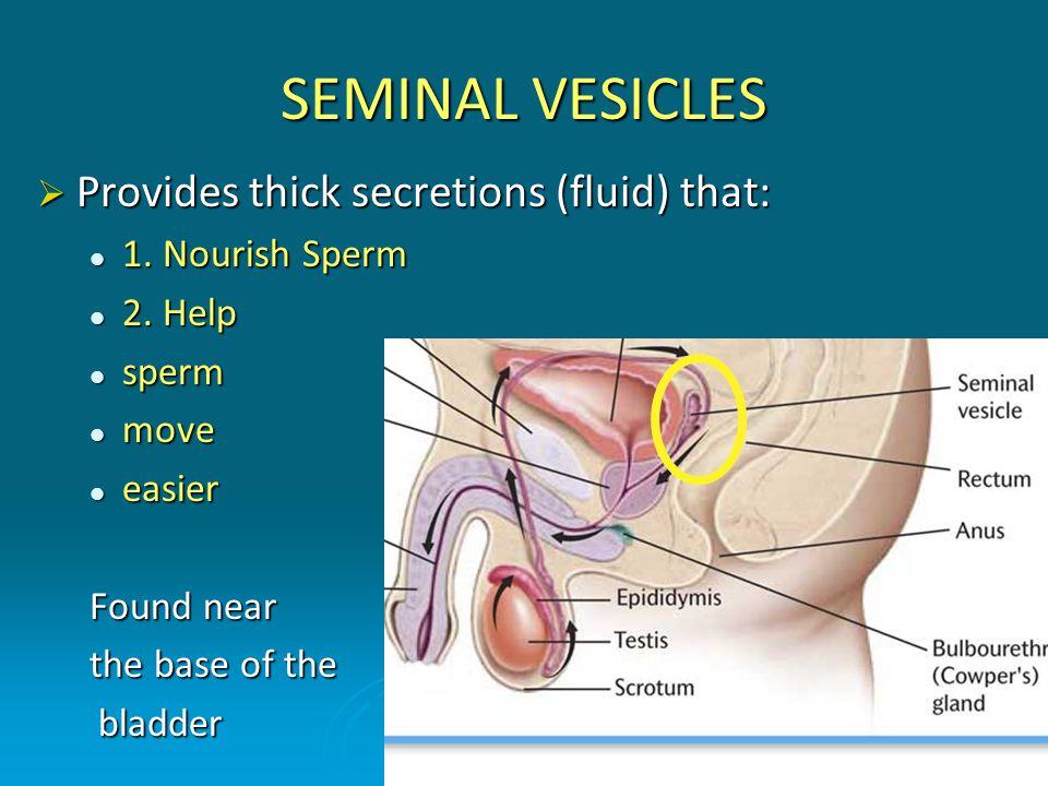 SEMINAL VESICLES  Provides thick secretions (fluid) that: 1. Nourish Sperm 1. Nourish Sperm 2. Help 2. Help sperm sperm move move easier easier Found
