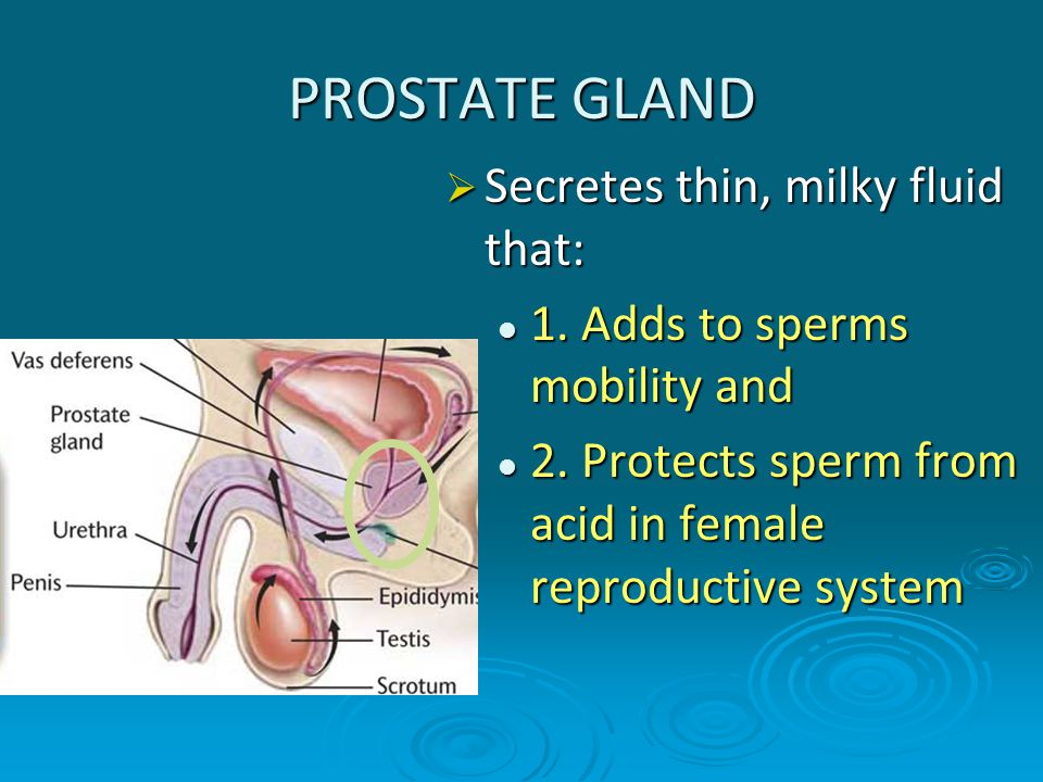 PROSTATE GLAND  Secretes thin, milky fluid that: 1. Adds to sperms mobility and 1. Adds to sperms mobility and 2. Protects sperm from acid in female