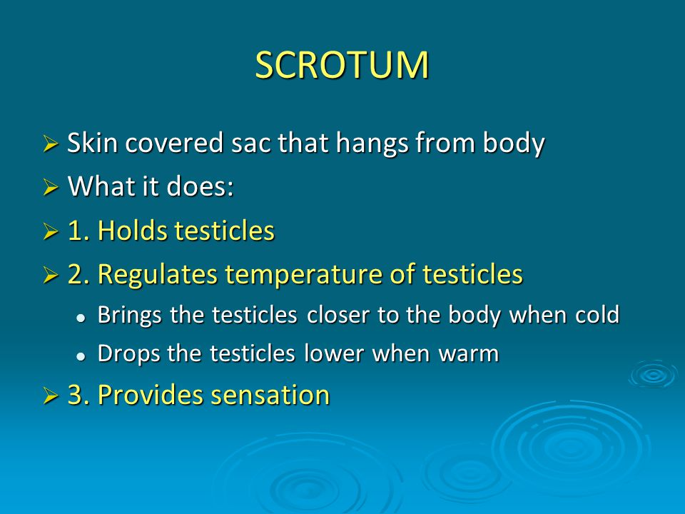 SCROTUM  Skin covered sac that hangs from body  What it does:  1. Holds testicles  2. Regulates temperature of testicles Brings the testicles clos