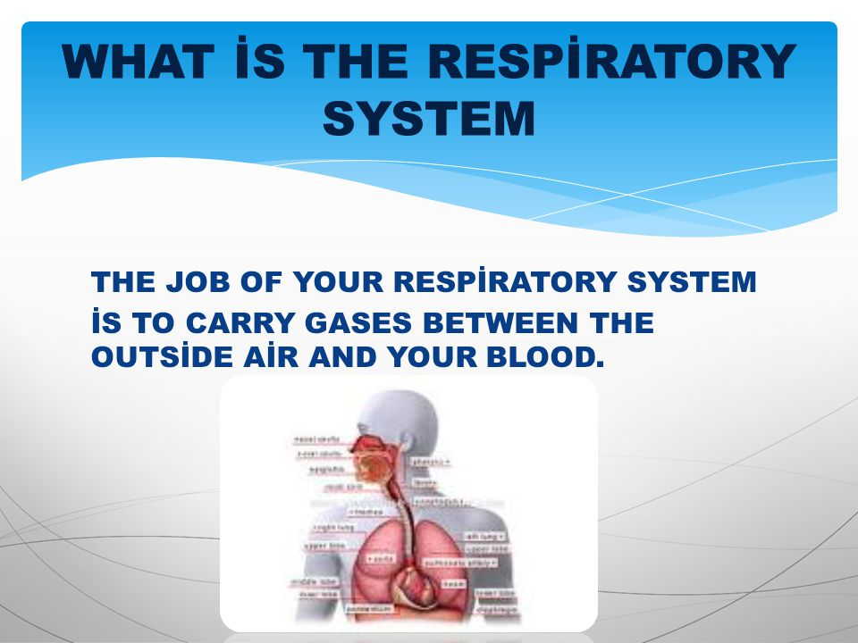 THE JOB OF YOUR RESPİRATORY SYSTEM İS TO CARRY GASES BETWEEN THE OUTSİDE AİR AND YOUR BLOOD. WHAT İS THE RESPİRATORY SYSTEM