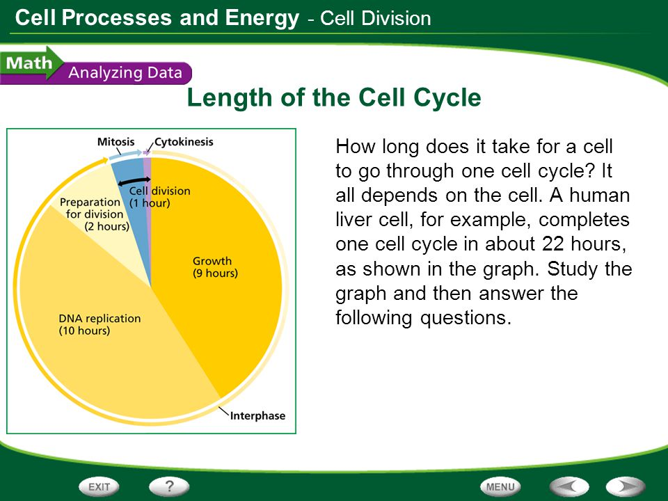 Cell Processes and Energy Length of the Cell Cycle How long does it take for a cell to go through one cell cycle? It all depends on the cell. A human