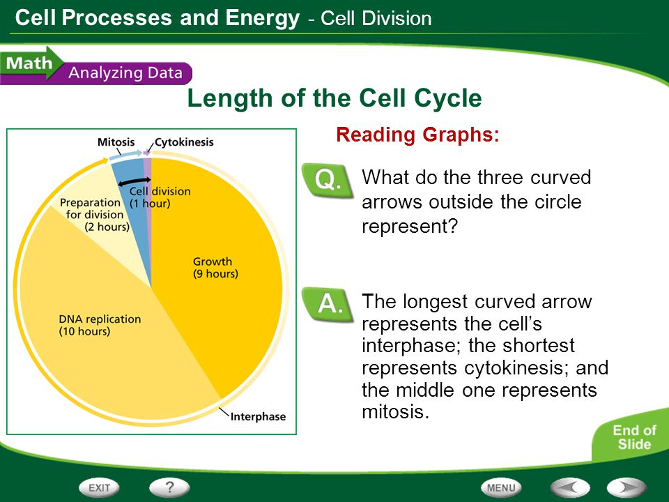 Cell Processes and Energy Length of the Cell Cycle The longest curved arrow represents the cell's interphase; the shortest represents cytokinesis; and