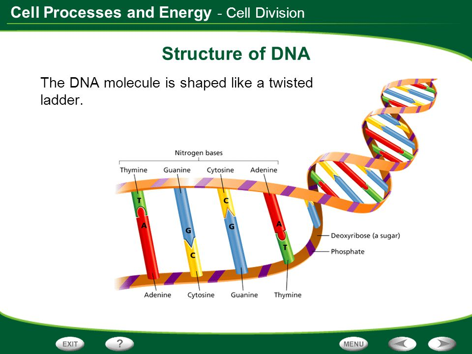 Cell Processes and Energy - Cell Division Structure of DNA The DNA molecule is shaped like a twisted ladder.