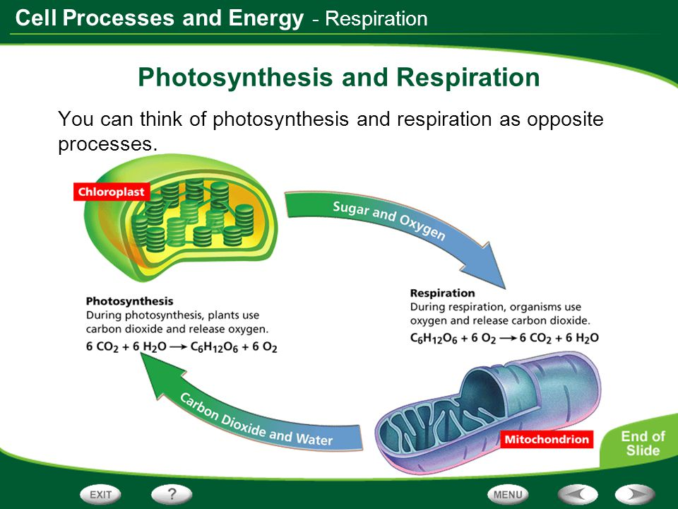 Cell Processes and Energy - Respiration Photosynthesis and Respiration You can think of photosynthesis and respiration as opposite processes.