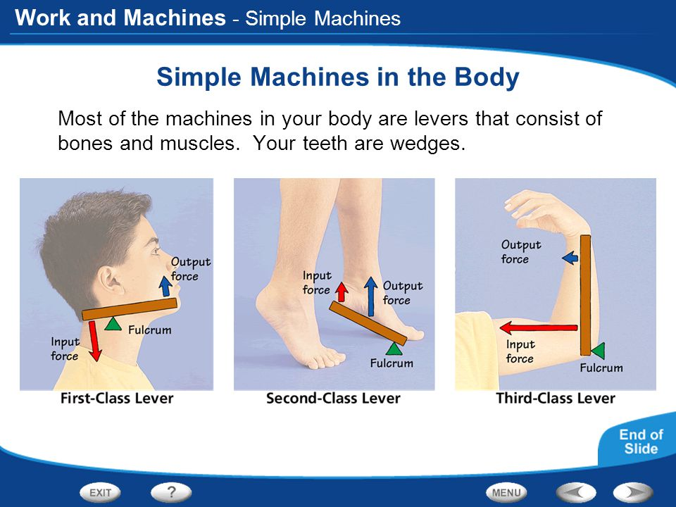 Work and Machines - Simple Machines Simple Machines in the Body Most of the machines in your body are levers that consist of bones and muscles. Your t