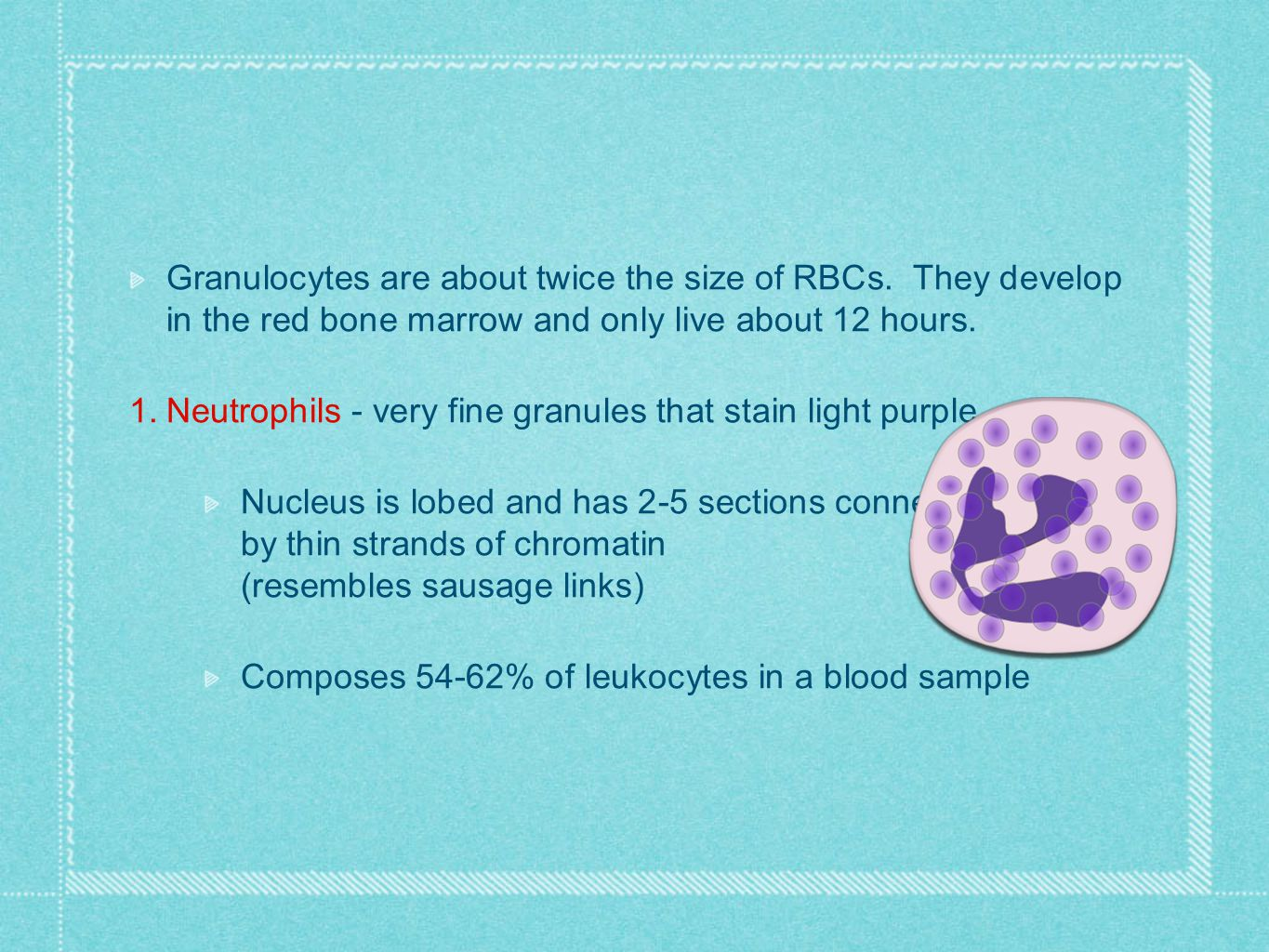 Granulocytes are about twice the size of RBCs. They develop in the red bone marrow and only live about 12 hours. 1. Neutrophils - very fine granules t