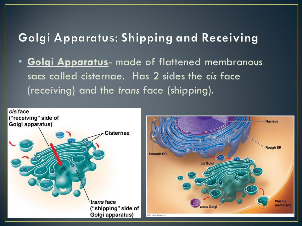 Golgi Apparatus- made of flattened membranous sacs called cisternae. Has 2 sides the cis face (receiving) and the trans face (shipping).