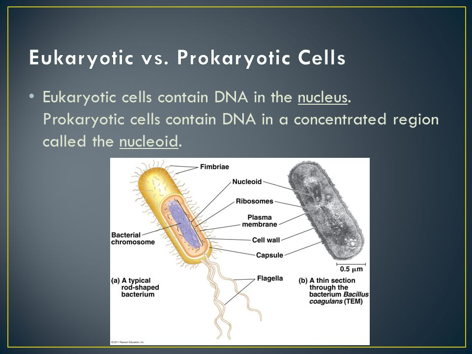 Eukaryotic cells contain DNA in the nucleus. Prokaryotic cells contain DNA in a concentrated region called the nucleoid.