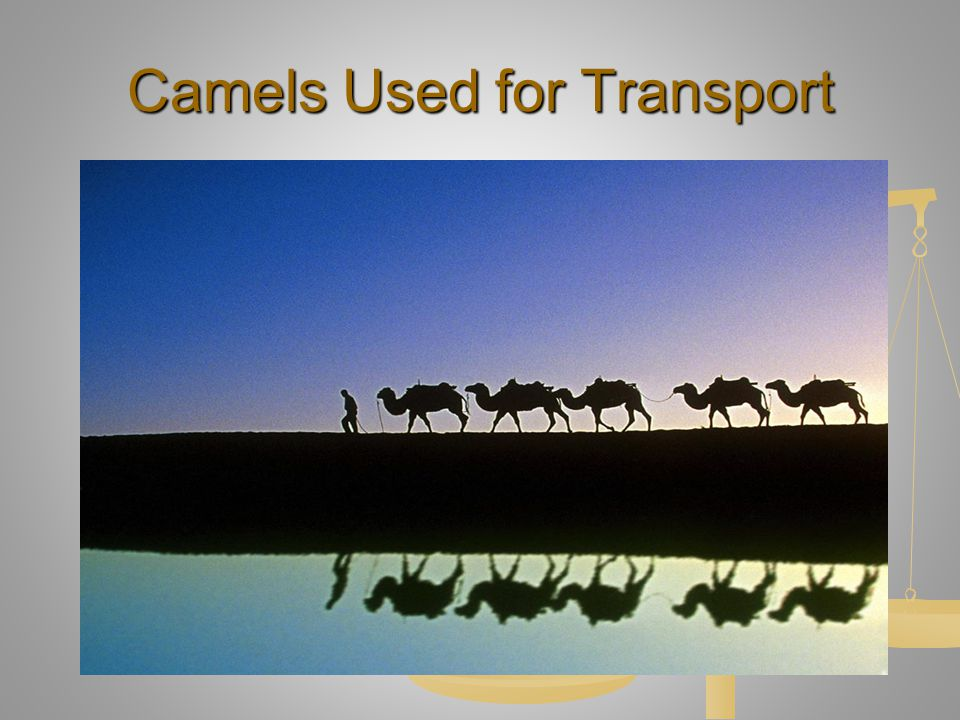 Camels Used for Transport
