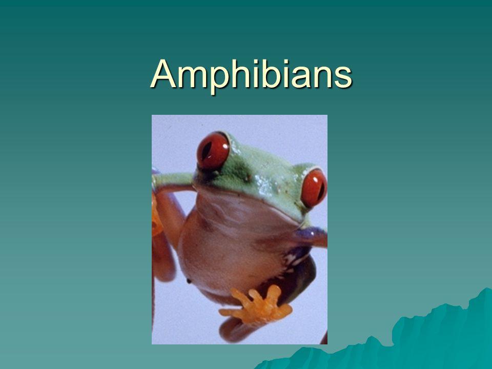 What is an amphibian.
