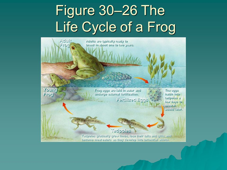  Nearly all must live in moist areas because –Aquatic larvae –Eggs do not have shells (could dry out) –Amphibian skin lacks protective covering that would prevent it from drying out –In most adults, the skin is used for respiration and must remain moist.