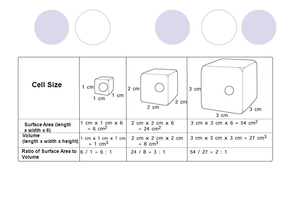Cell Size Surface Area (length x width x 6) Volume (length x width x height) Ratio of Surface Area to Volume