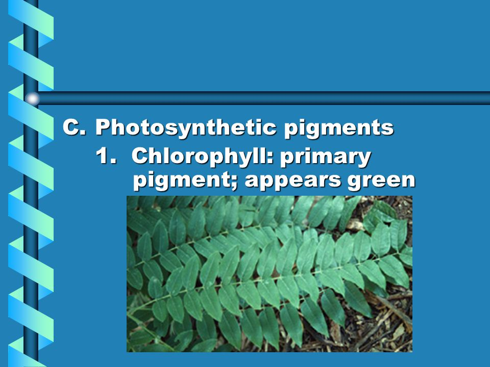 C.Photosynthetic pigments 1. Chlorophyll: primary pigment; appears green
