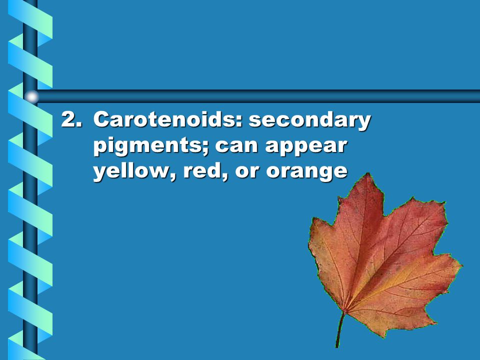 2.Carotenoids: secondary pigments; can appear yellow, red, or orange