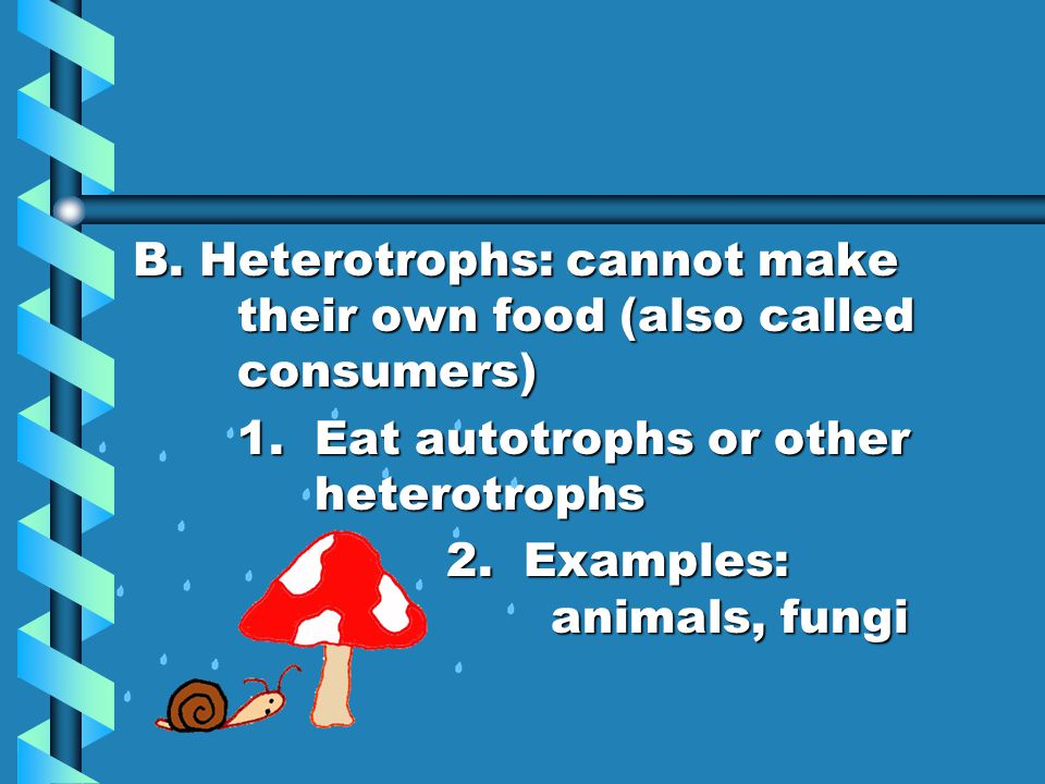 B. Heterotrophs: cannot make their own food (also called consumers) 1. Eat autotrophs or other heterotrophs 2. Examples: animals, fungi