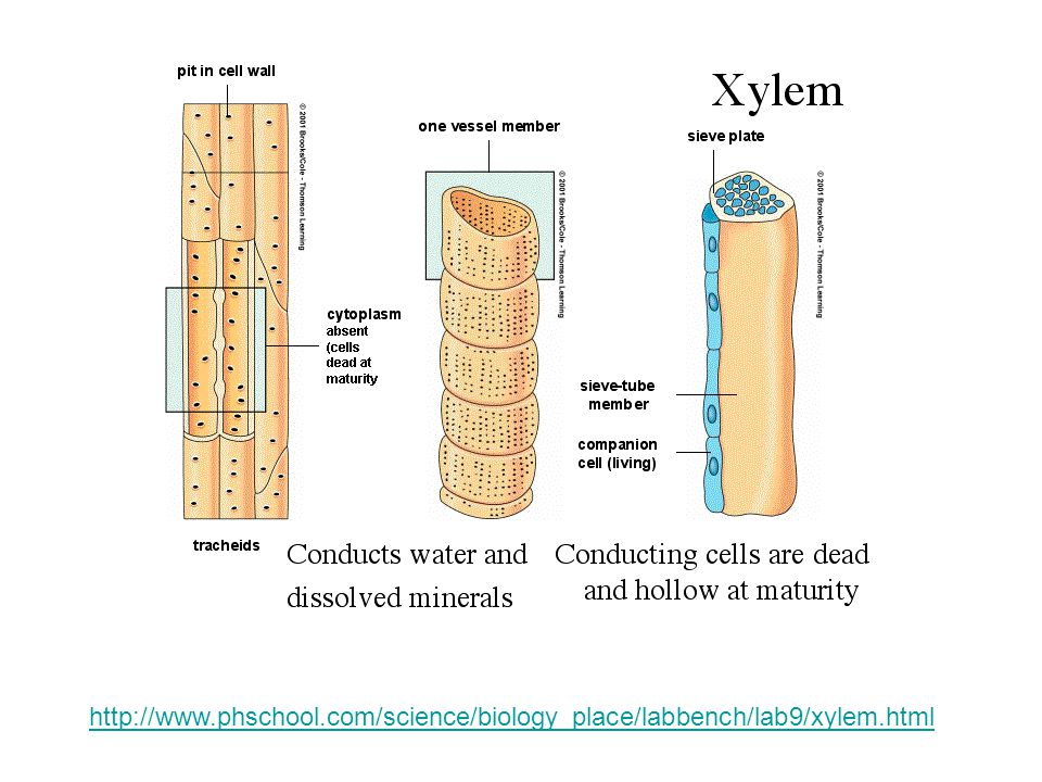 http://www.phschool.com/science/biology_place/labbench/lab9/xylem.html