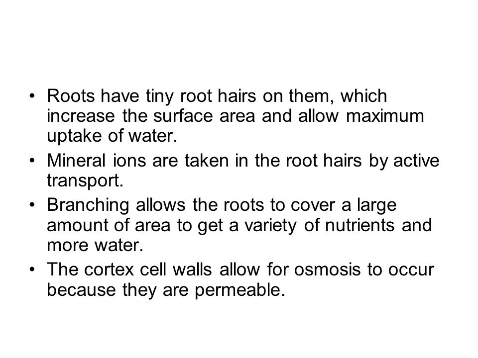 Roots have tiny root hairs on them, which increase the surface area and allow maximum uptake of water. Mineral ions are taken in the root hairs by act
