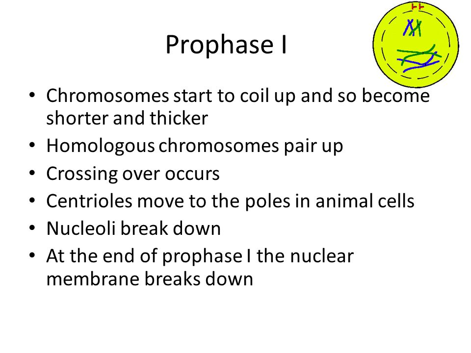 Prophase I Chromosomes start to coil up and so become shorter and thicker Homologous chromosomes pair up Crossing over occurs Centrioles move to the poles in animal cells Nucleoli break down At the end of prophase I the nuclear membrane breaks down