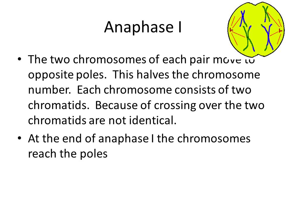 Anaphase I The two chromosomes of each pair move to opposite poles. This halves the chromosome number. Each chromosome consists of two chromatids. Bec