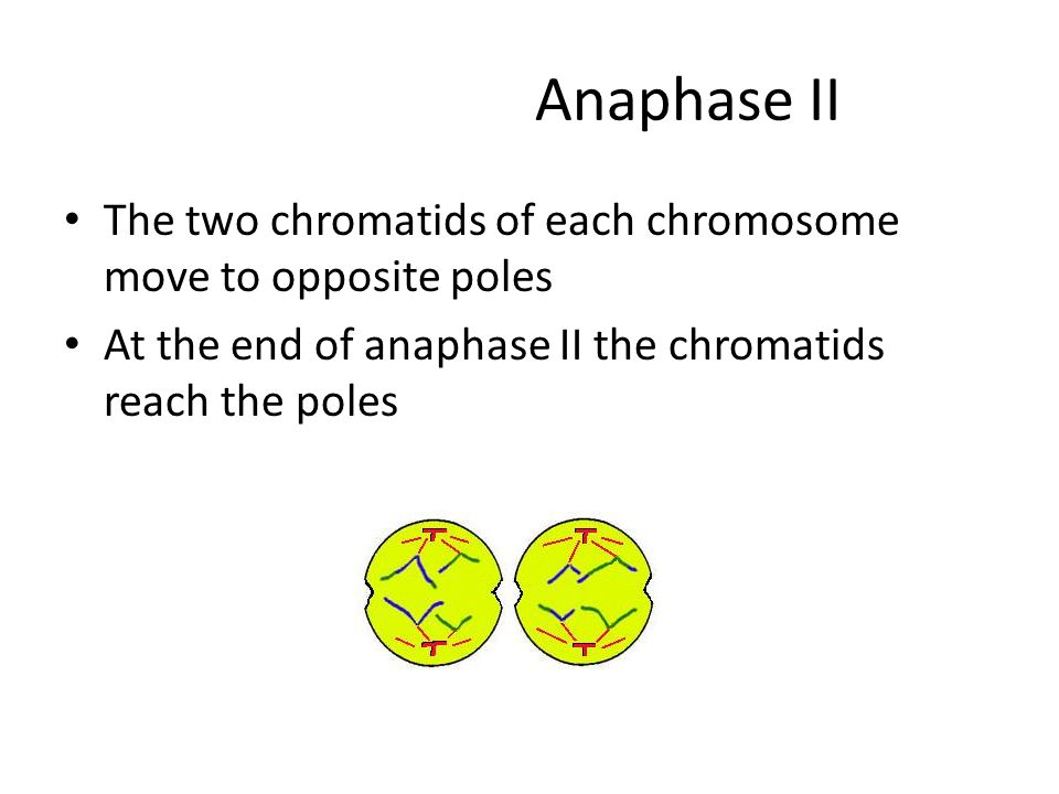 Anaphase II The two chromatids of each chromosome move to opposite poles At the end of anaphase II the chromatids reach the poles