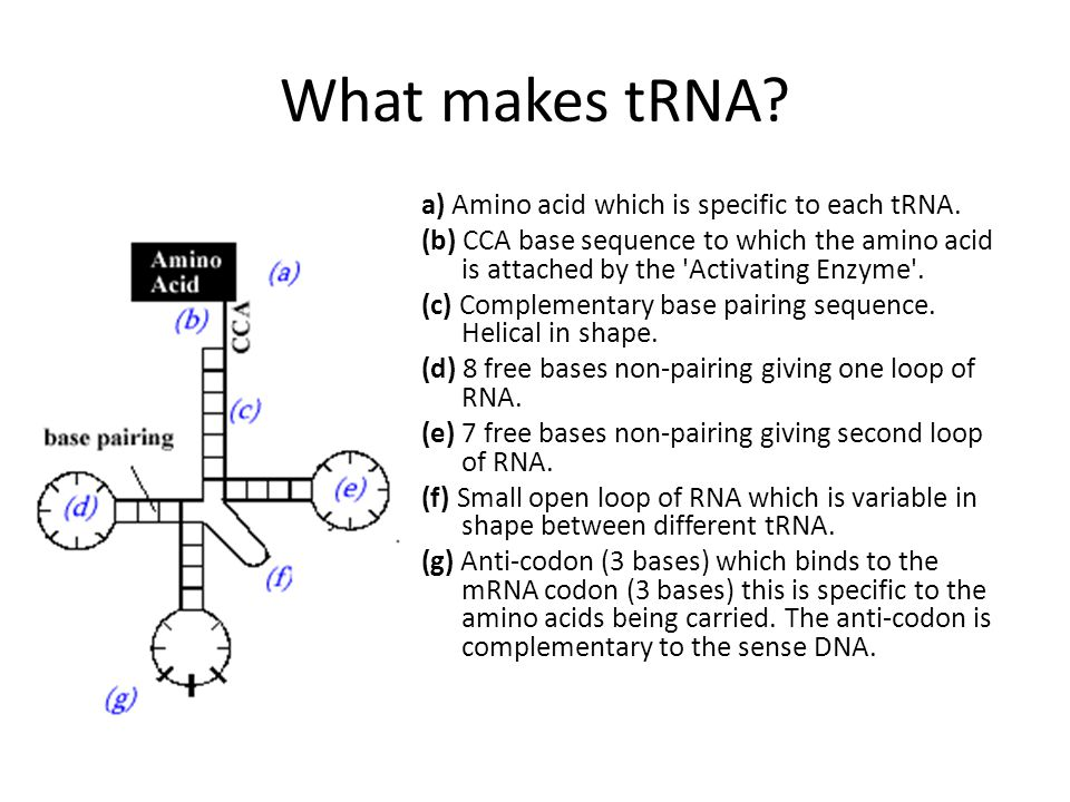 What makes tRNA. a) Amino acid which is specific to each tRNA.