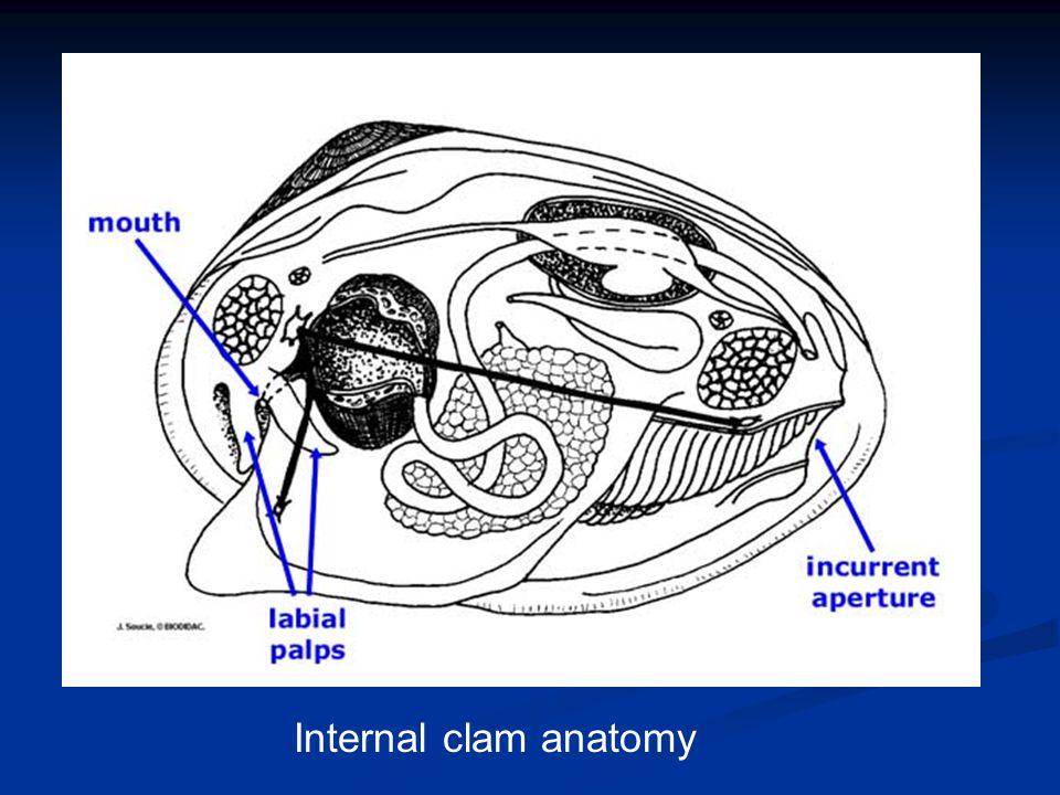 Internal clam anatomy