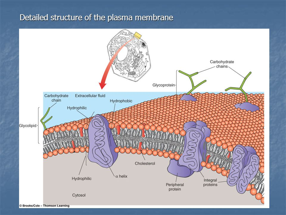 Detailed structure of the plasma membrane