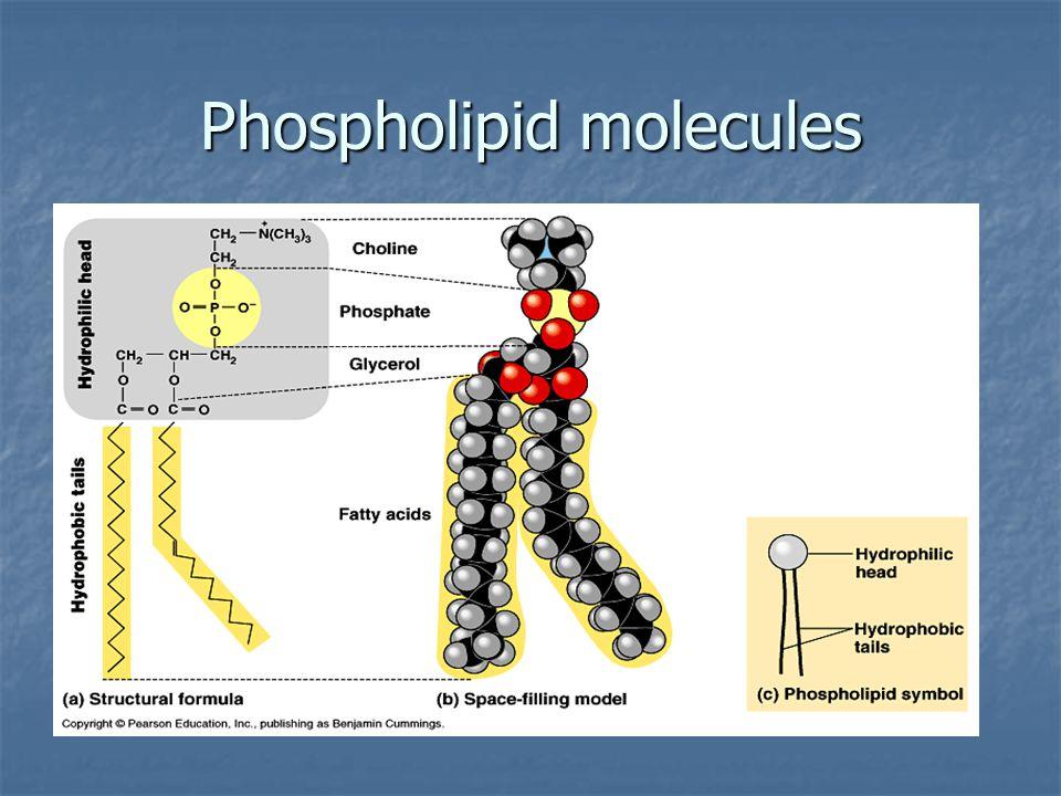 Phospholipid molecules