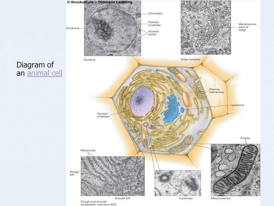 Diagram of an animal cell animal cellanimal cell