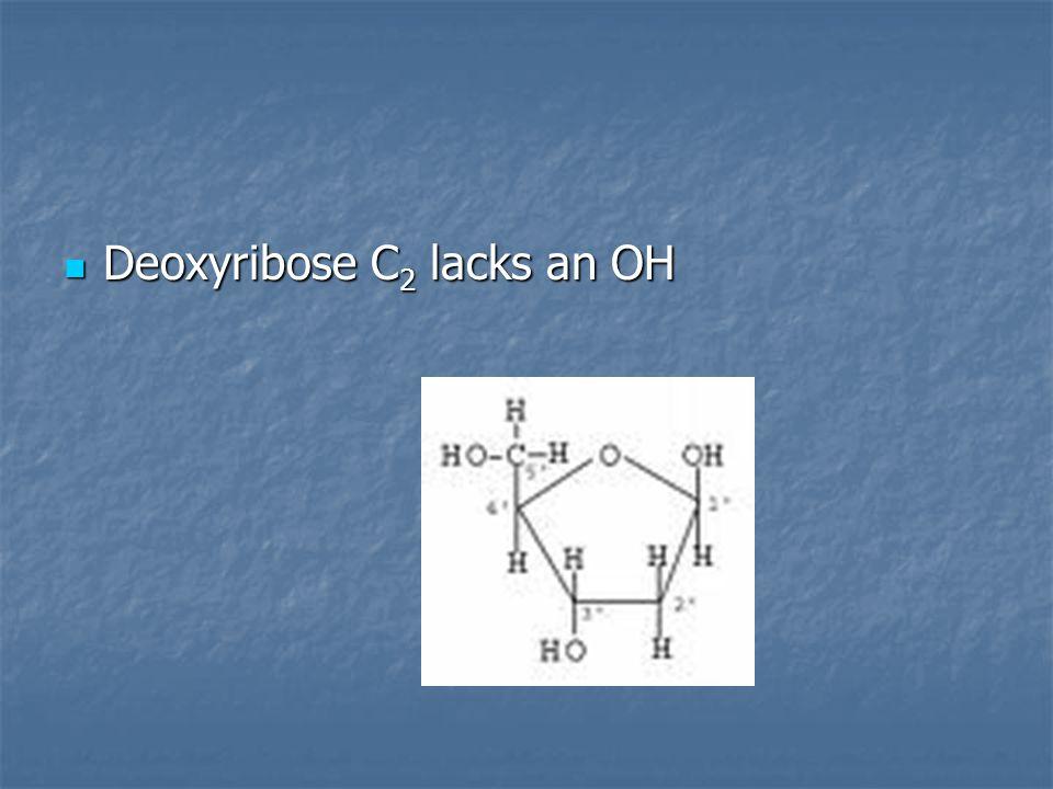 Deoxyribose C 2 lacks an OH Deoxyribose C 2 lacks an OH