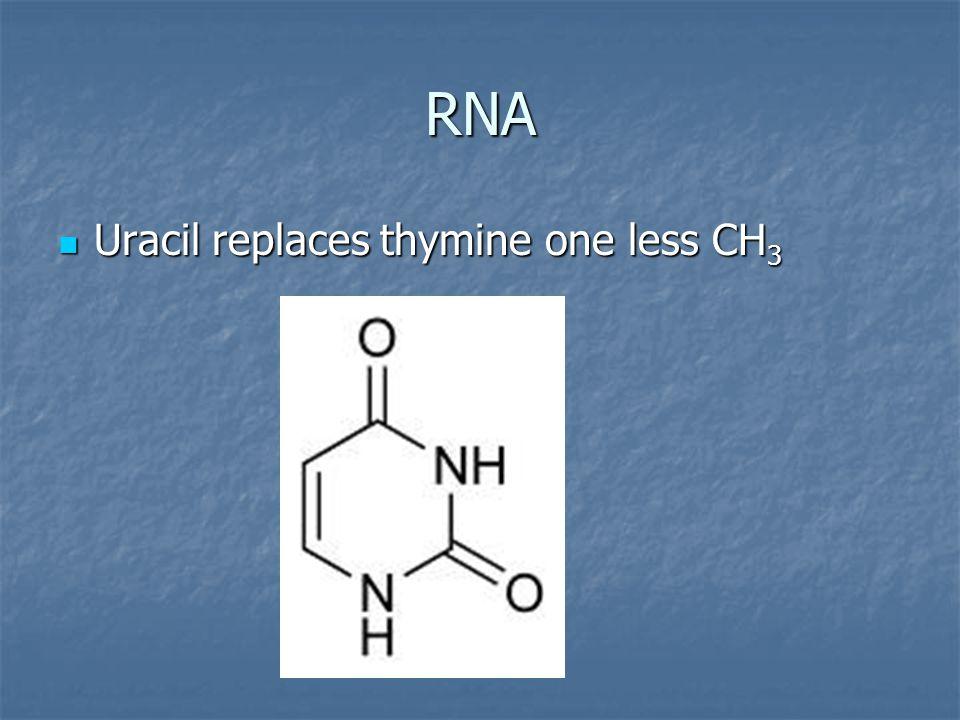 RNA Uracil replaces thymine one less CH 3 Uracil replaces thymine one less CH 3