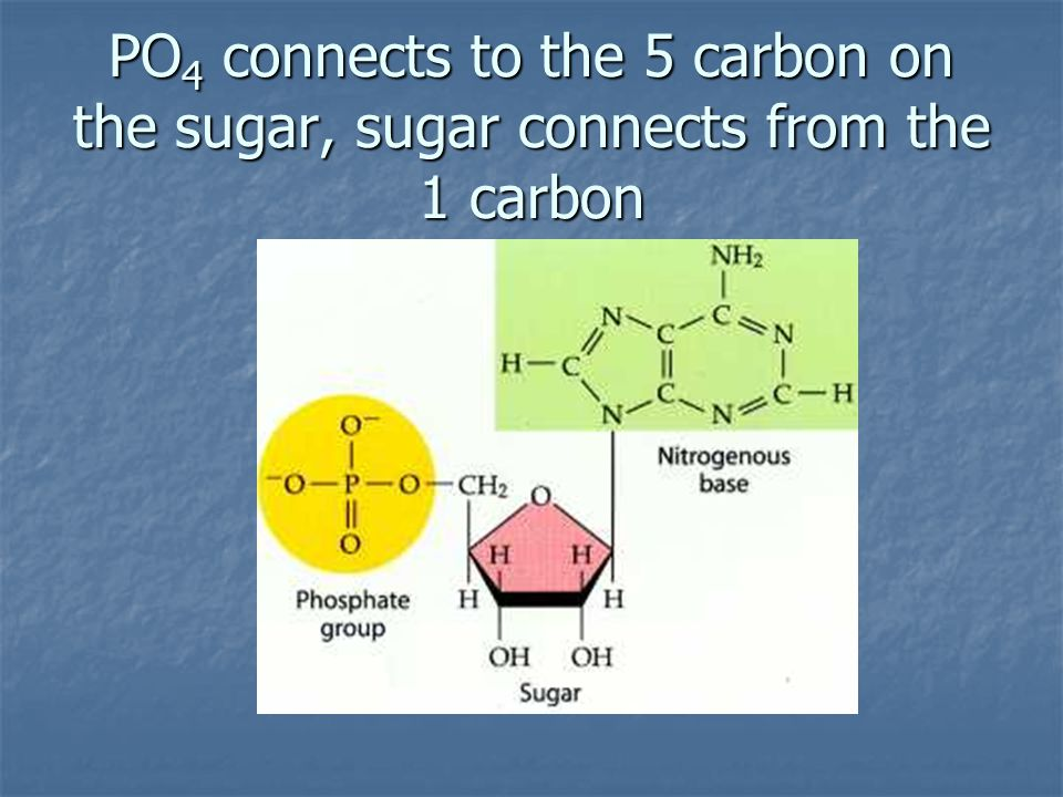 PO 4 connects to the 5 carbon on the sugar, sugar connects from the 1 carbon