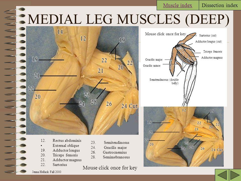 Jenna Hellack Fall 2000 Dissection index MEDIAL LEG MUSCLES (DEEP) Muscle index Adductor magnus Triceps femoris Adductor longus (cut) Sartorius (cut) Semitendinosus (double belly) Gracilis minor Gracilis major 12.