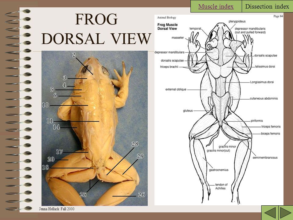 Jenna Hellack Fall 2000 Dissection index FROG DORSAL VIEW Muscle index