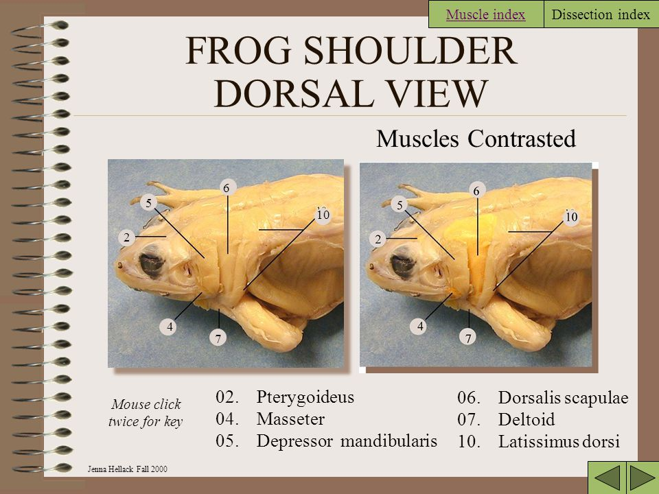 Jenna Hellack Fall 2000 Dissection index FROG SHOULDER DORSAL VIEW 10 7 6 4 5 2 Muscles Contrasted 02.