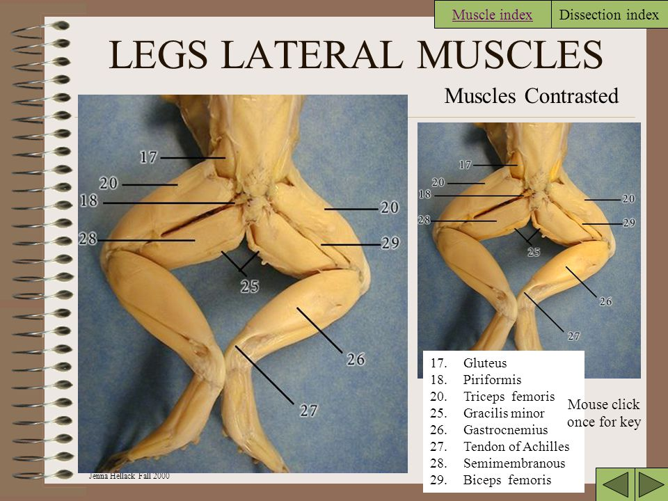 Jenna Hellack Fall 2000 Dissection index LEGS LATERAL MUSCLES Muscles Contrasted 17.Gluteus 18.Piriformis 20.Triceps femoris 25.Gracilis minor 26.Gastrocnemius 27.Tendon of Achilles 28.Semimembranous 29.Biceps femoris Muscle index Mouse click once for key
